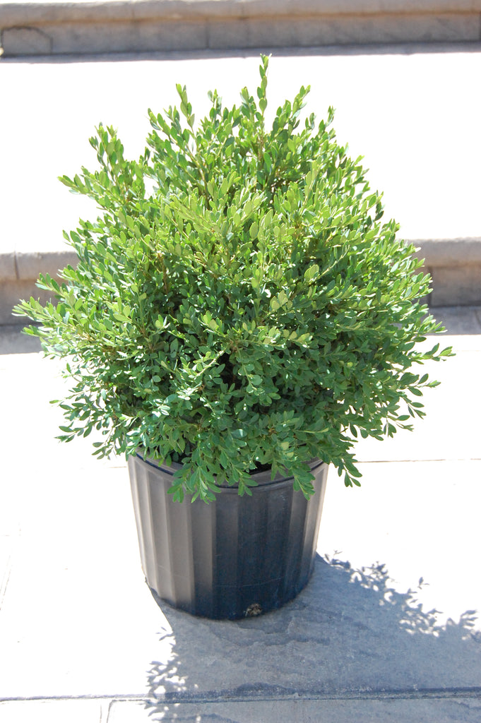 Green Gem Boxwood (47.99)