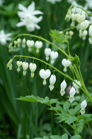 Dicentra 'Bleeding Heart'
