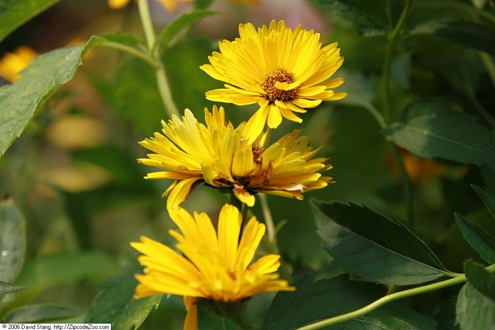 False Sunflower 'Heliopsis'