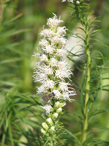 Blazing Star 'Liatris'