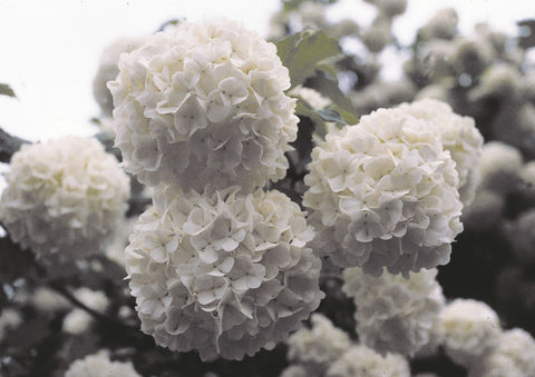European Snowball Bush 'Viburnum'