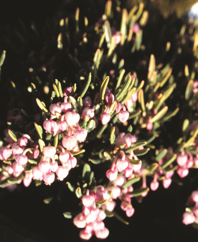 Blue Ice Bog-Rosemary