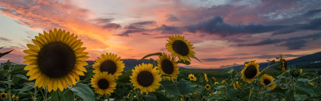 Beautiful closeup of sunflowers in a field with a red sunset in the background