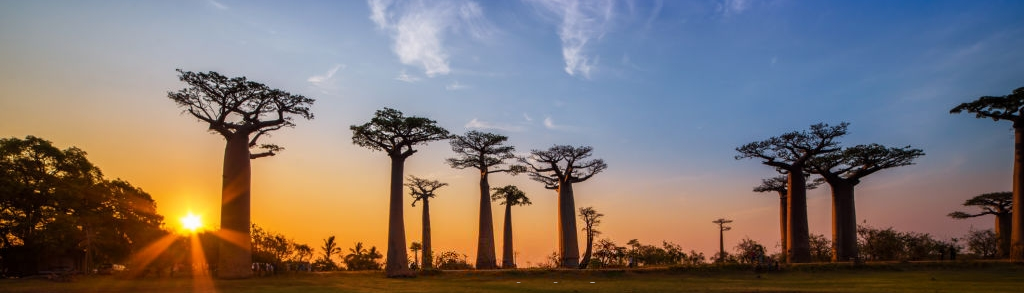 Beautiful massive baobab trees with a beautiful african sunset