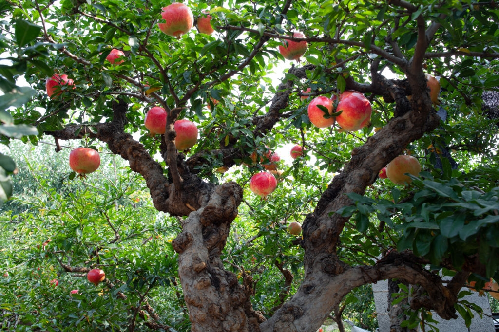 beautiful pomegranate tree with ripe fruit