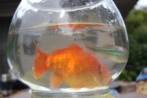 Copy of Water Garden Sized Goldfish