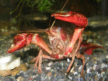 Load image into Gallery viewer, Mini Mexican Crayfish - Red