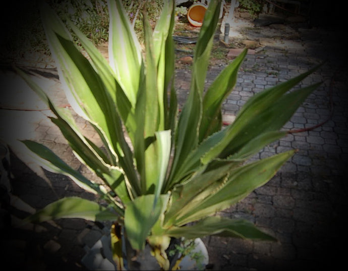 Century Plant (American Agave)