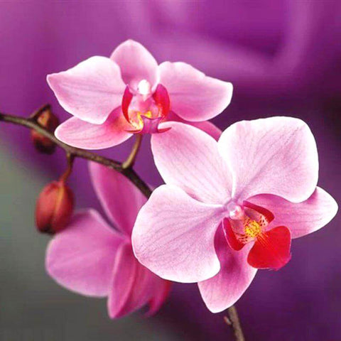 Image of Pink Orchid Flower - DIY Diamond Painting