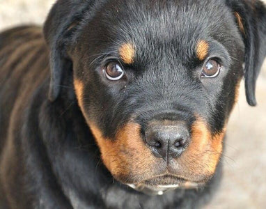 Rottweiler - DIY Diamond Painting