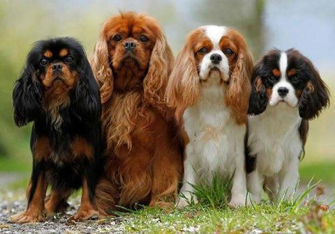 Image of Cavalier King Charles Spaniel Squad - DIY Diamond Painting