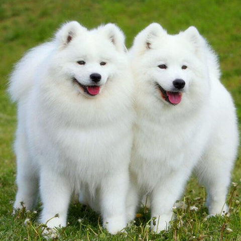 Image of Twin Chow Chow - DIY Diamond Painting