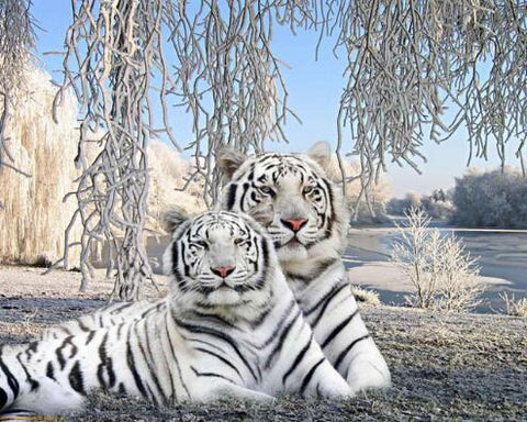 Image of Couple White Tiger - DIY Diamond Painting