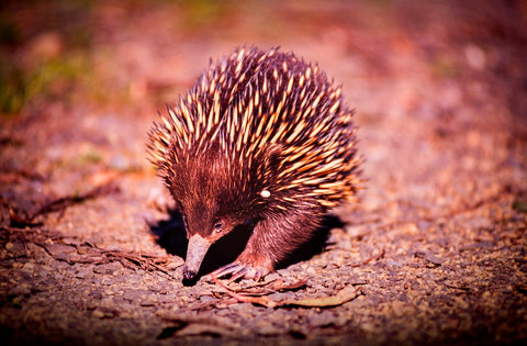 Echidna - DIY Diamond Painting