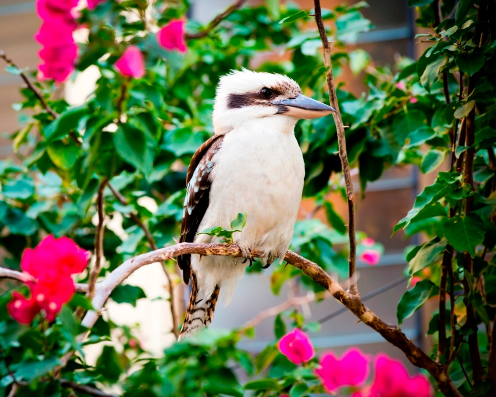 Kookaburra - DIY Diamond  Painting
