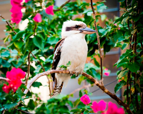 Image of Kookaburra - DIY Diamond  Painting
