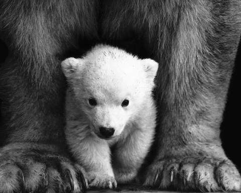 Image of Baby Polar Bear - DIY Diamond Painting