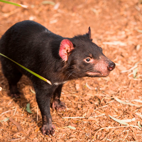 Image of Tasmanian Devil - DIY Diamond Painting
