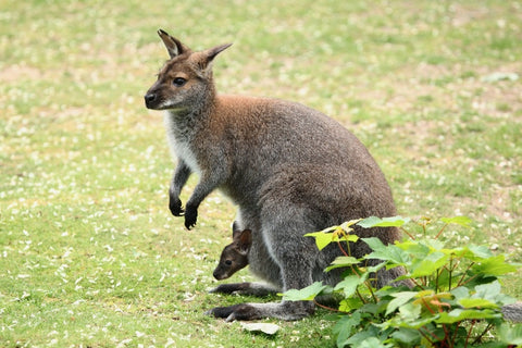 Image of Wallaby - DIY Diamond Painting