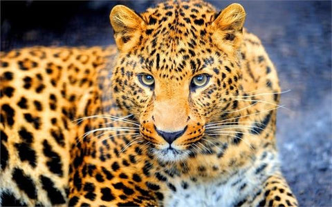 Image of Observing Leopard - DIY Diamond Painting