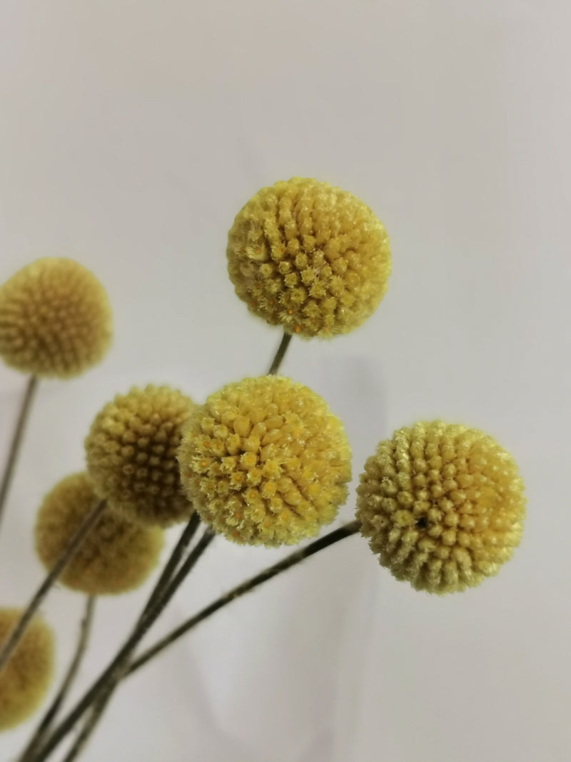 Dried Billy Buttons Bunch Yellow | Craspedia | bunch of 10