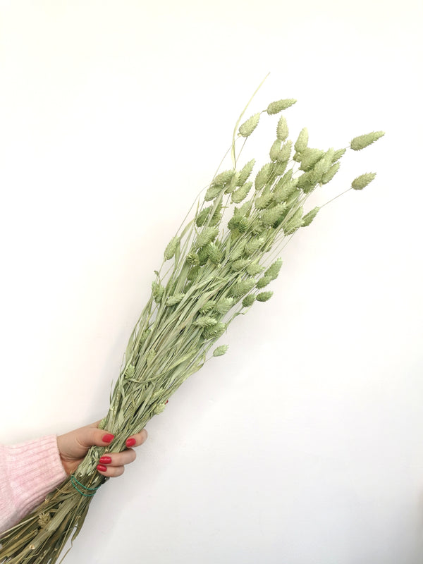 Dried Pastel green Phalaris | flower bunch