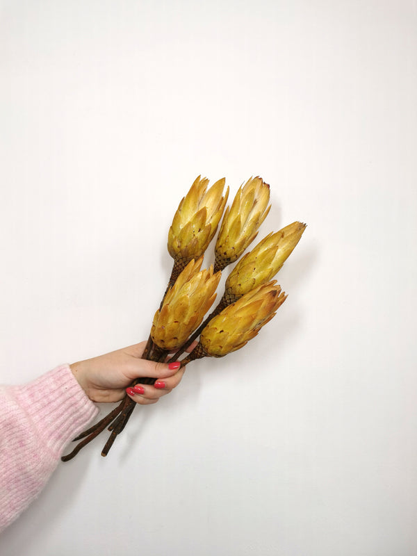 Protea Pendula Dried Flower Bunch | Honey Coloured |5 stems