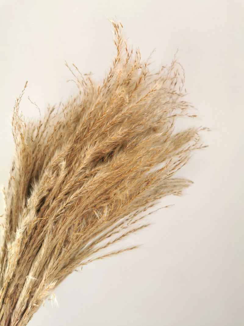 Dried Short Stem Pampas Grass