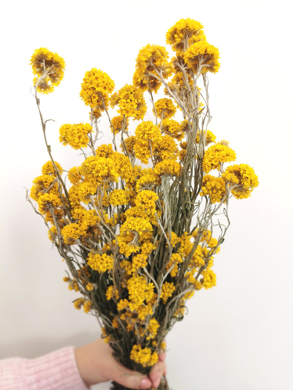 Sandifordii Yellow Dried Flower Bunch