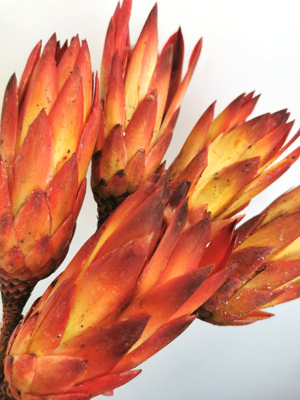 *New* Protea Pendula Dried Flower Bunch | Burnt Orange and Red | 5 stems