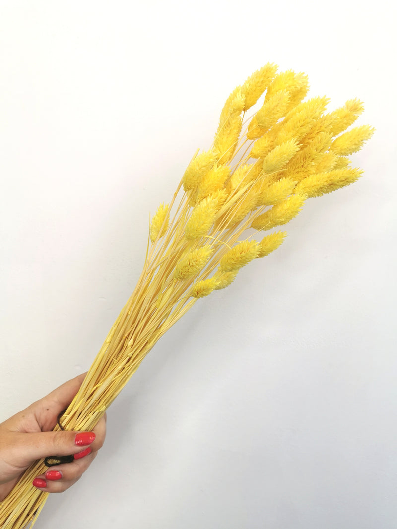 *NEW* Dried Bright Yellow Phalaris