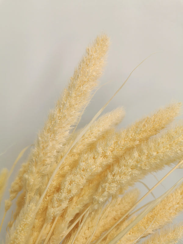 *New* Dried Cream fluffy Setaria