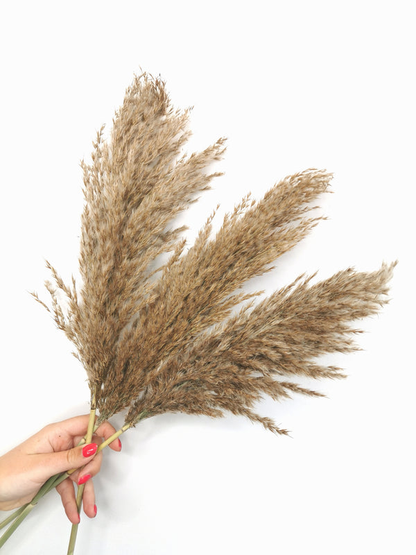 Fluffy Raw Toned Dried Pampas Grass (Back monday 13th July)