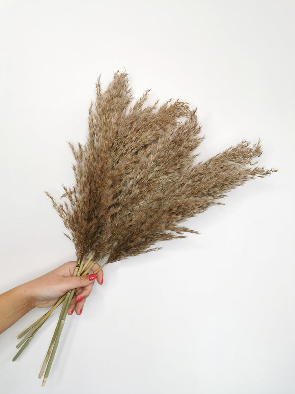 (Back Monday 8th March) Fluffy Raw Toned Dried Pampas Grass