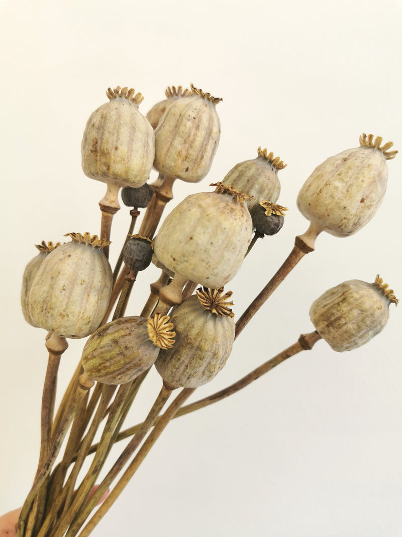*New* Natural poppy seed heads | Papaver | dried flower bunch