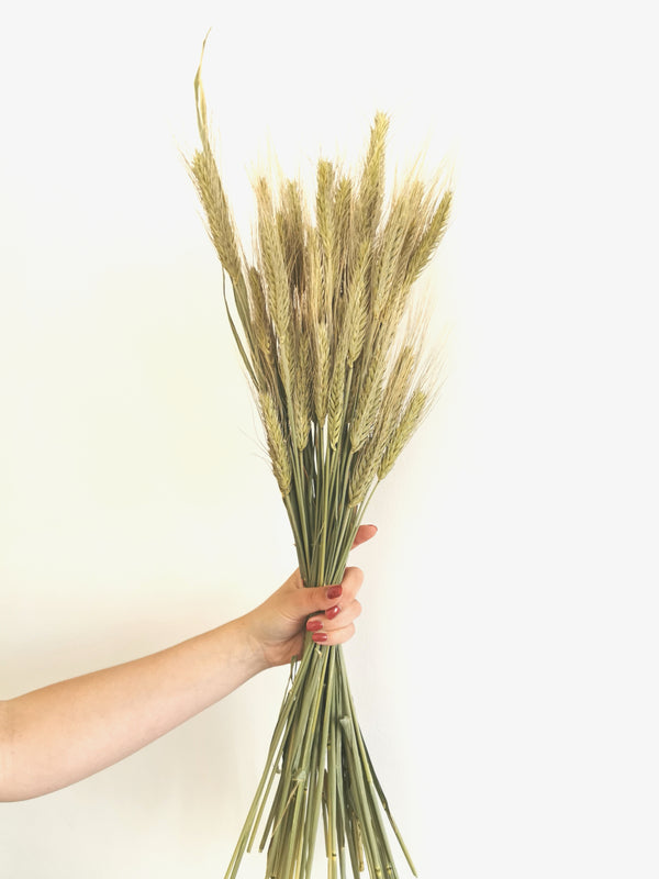 *New* Green Wheat 'Triticum' Dried Grass Bunch