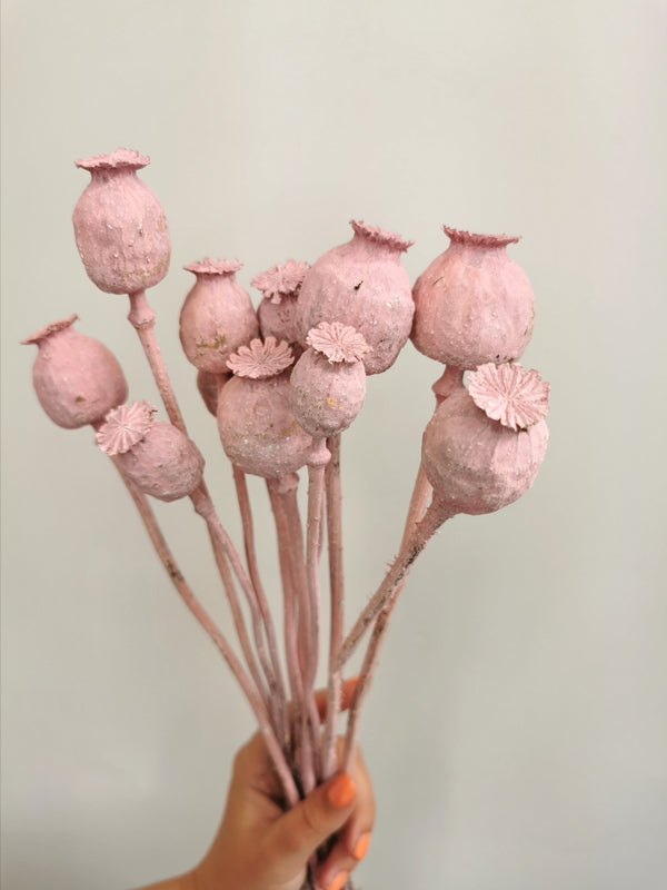 *NEW* Baby Pink poppy seed heads | Papaver | dried flower bunch | 10pcs