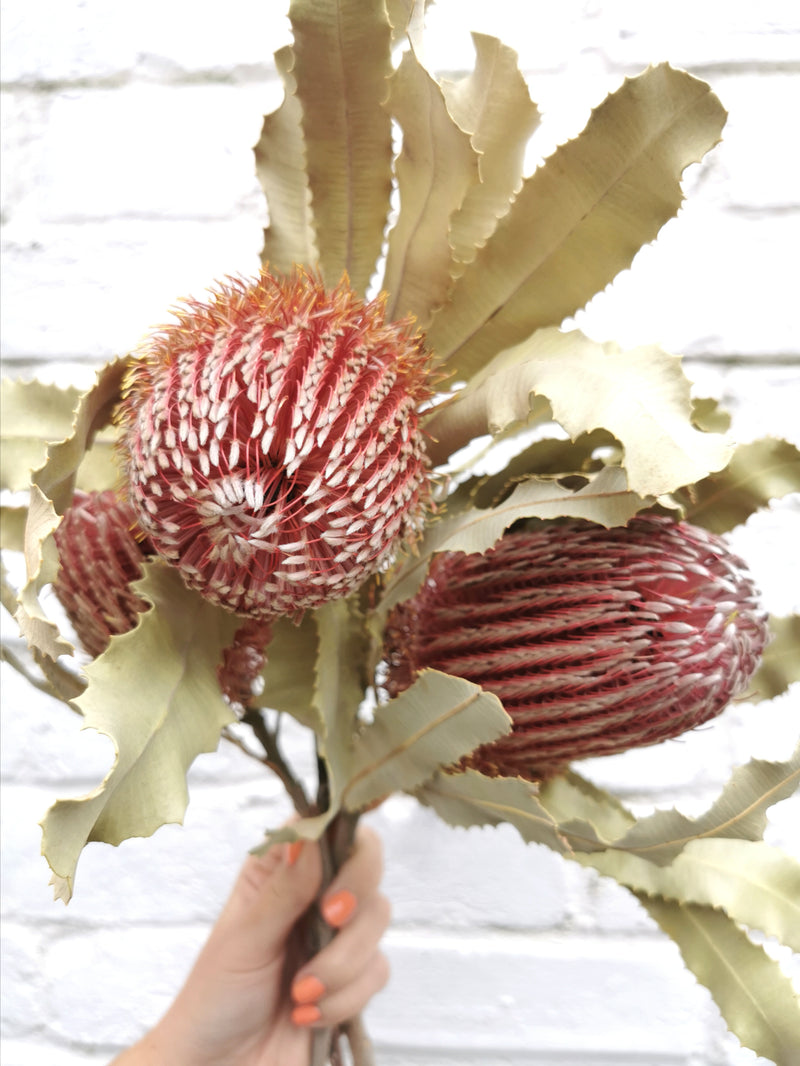 Large Australia Banksia | Natural | Dried Flower Bunch
