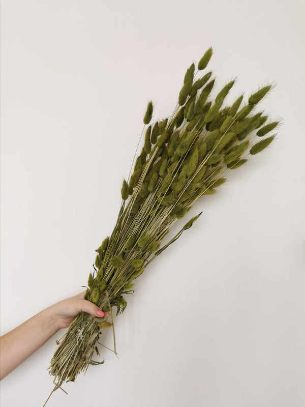 Dried Olive Bunny Tails | Lagurus | XL Bunch