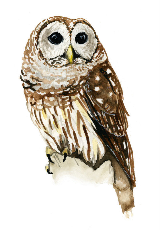 Barred Owl - Priscilla George Fine Art