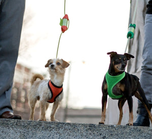 A Min-Pin and Chihuahua Terrier mix enjoy an afternoon walk with a green and orange LOOP for POOP, poop bag holder