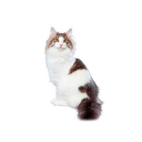 Intro to Cat Breed Group – iPet Care