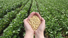 Genetically Modified Soybeans