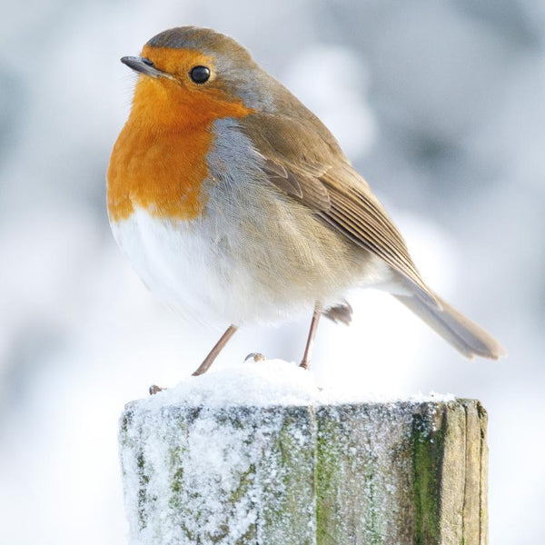 SALE 50% off at Checkout - Christmas Card, Robin