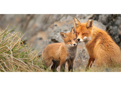 Fox Mother With Cub