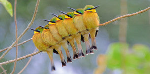 Bee-Eater Out of Line