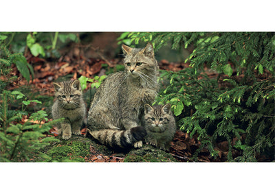 Wildcat Mother With Kittens