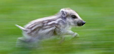 Young Wild Boar Running