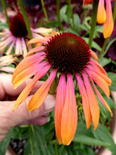 "Load image into Gallery viewer, ""Echinacea"""