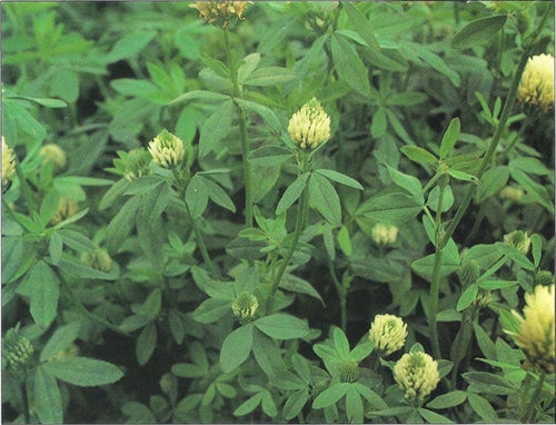 Berseem Clover Seed (Big Bee)